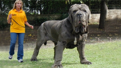Cea mai mare rasă modernă de câini din lume este Mastiff-ul englez. Greutate - aproximativ 100 de kilograme, înălțime 90 de centimetri
