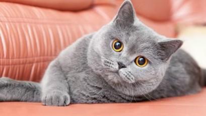 TOP - 5 cele mai mari rase de pisici