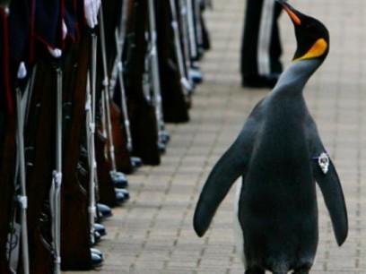 Pinguinul Niels Ulaf - general de armată norvegiană vizualizări