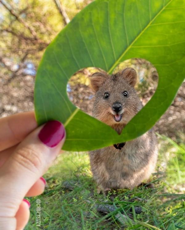 Faceți cunoștință: quokka - cel mai drăguț și zâmbitor animal din lume