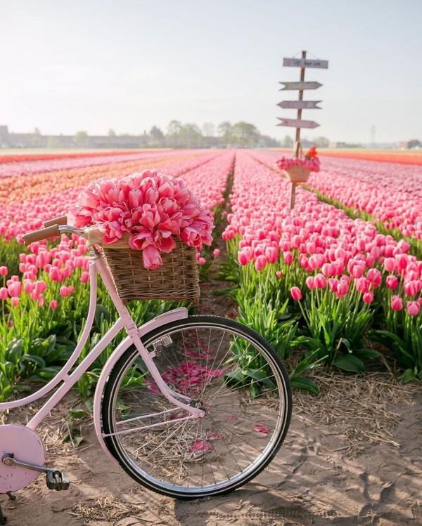 Photo of the day #3. Lalele în Olanda