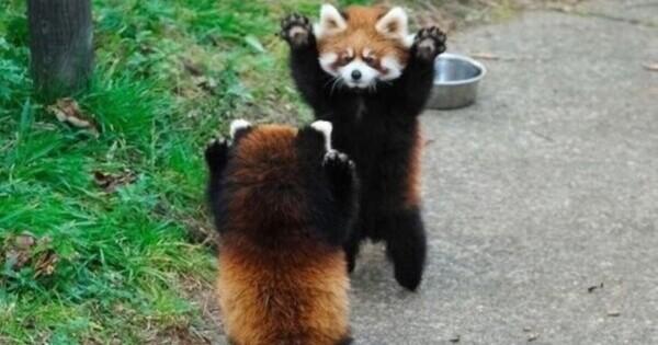 """Panda roșu cunoscut și sub numele de """"ursul pisică"""", """"pisica vulpe"""", """"vulpea de foc"""" sau """"ratonul de Himalaya"""" vizualizări"""